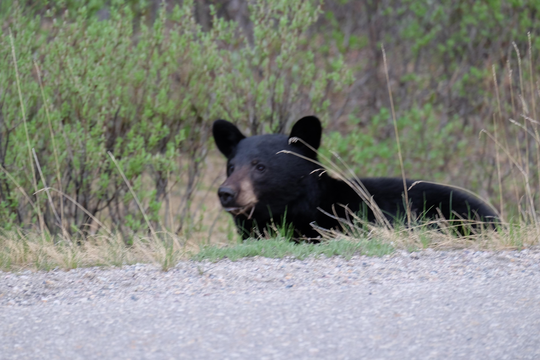 bear-i